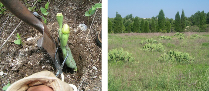 Above left, a small piece of cactus called prickly pear is planted.  Two years later, in the photo on the right, large patches of prickly pear have grown.  This is a favorite food of the gopher.